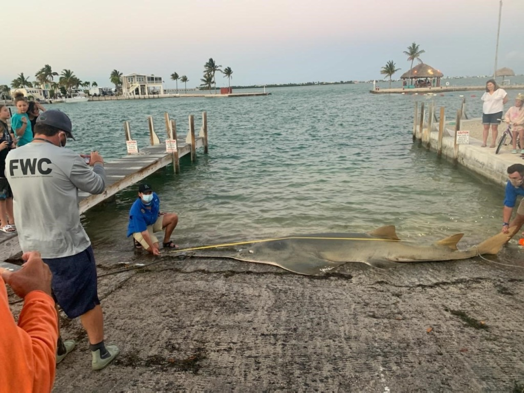 largest sawfish ever recorded