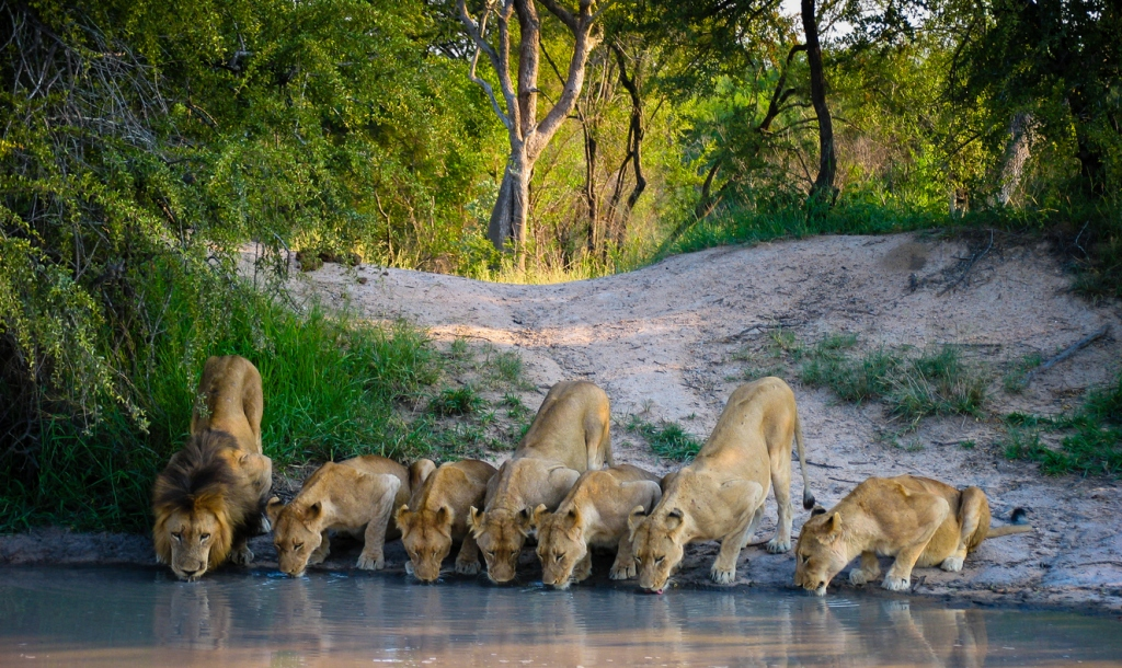 lions at watering hole