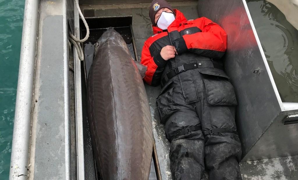 240-pound Lake Sturgeon Sea Monster