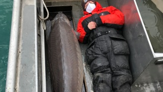 A 240-Pound Lake Sturgeon Caught Near Detroit Called 'Real-Life River Monster' And Estimated At 100-Years-Old