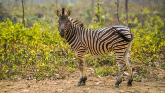A Zebra — Yes, A Zebra — Was Running Loose In Nashville And Had To Be Tased After Escaping An Auction House