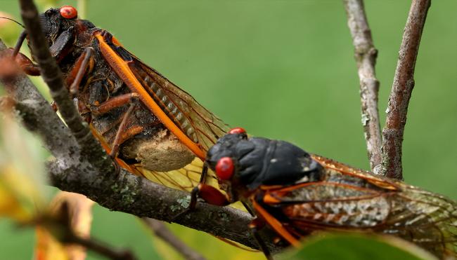 Brood X cicadas peeing