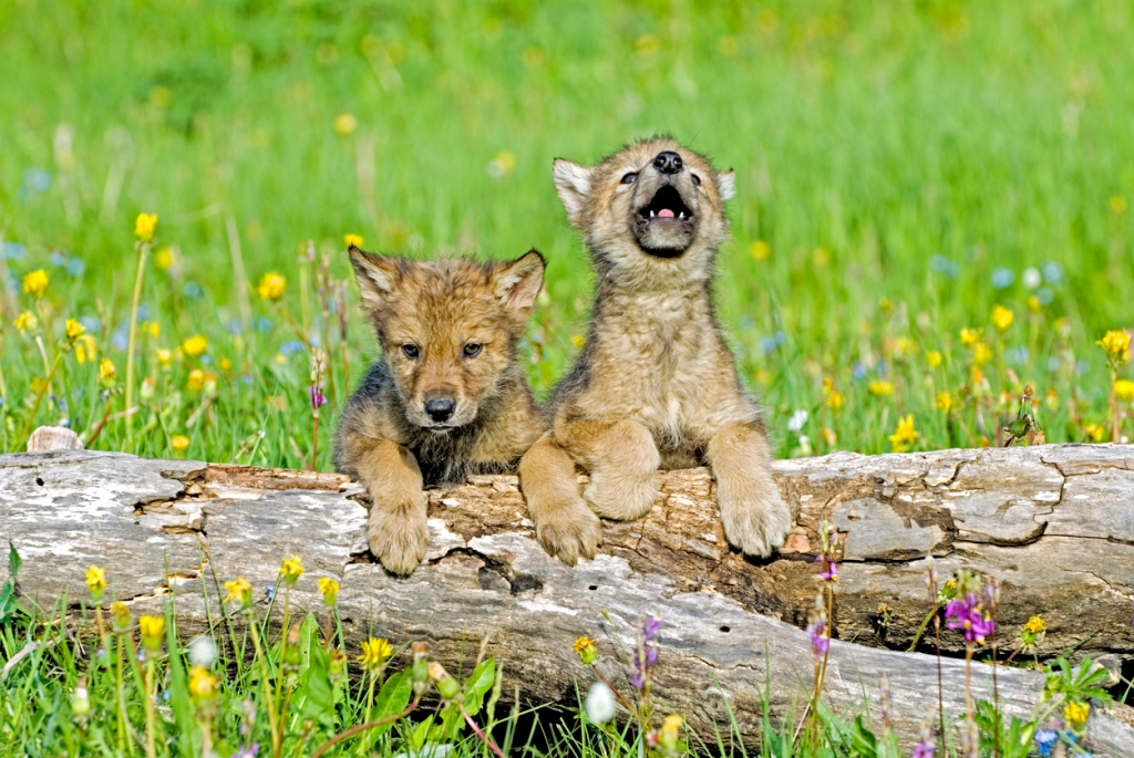 wolf pup first wolf howl