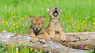Have You Ever Heard A Baby Wolf Pup's First Howls? Because It's Louder Than Expected