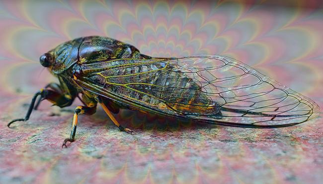 zombie cicadas psychedelic fungus