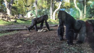 VIDEO: This Is What Happens When A Snake Invades The Gorilla Exhibit At  (The Primates Are Real Scared)