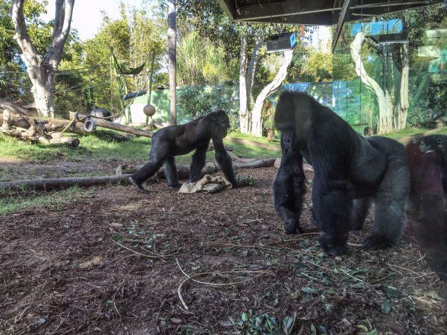 Gorillas in exhibit at Disney World get wild when snake enters the animals exhibit viral TikTok video shows.