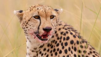 Five Male Cheetahs Will Be Tasked With Repopulating An Entire Species In India After 50+ Years Of Extinction