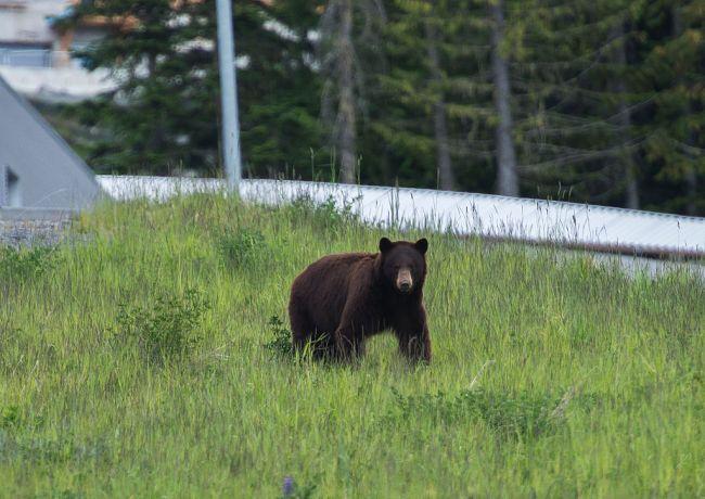 Bear Wildlife Nature British Columbia