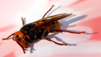 Heads Up, Scientists Just Found The First Murder Hornet Of 2021 In The United States