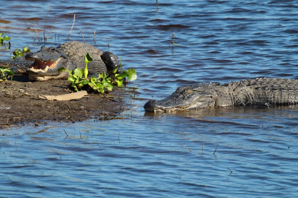 alligator attack Myakka River state Park