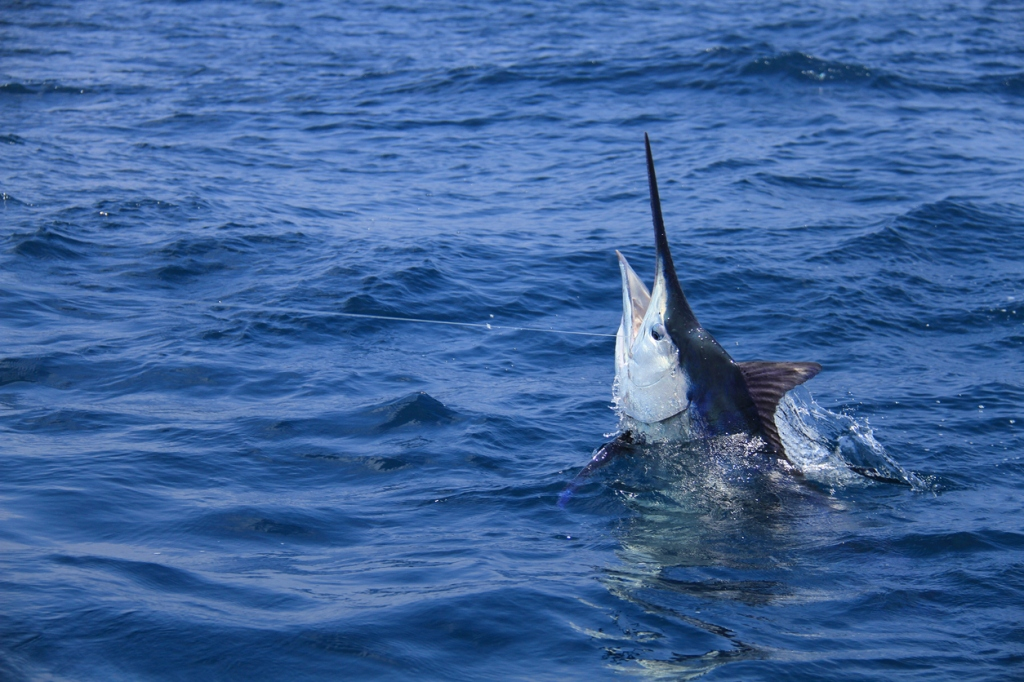 grander blue marlin fishing