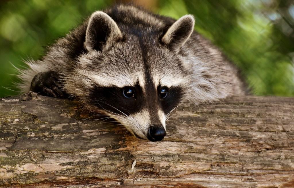 funny tweets raccoons crash through ceiling