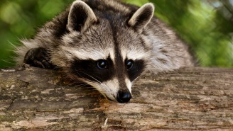 This Twitter Thread About Raccoons Crashing Through A Bedroom Ceiling Is A Wild Ride With A Twist At The End