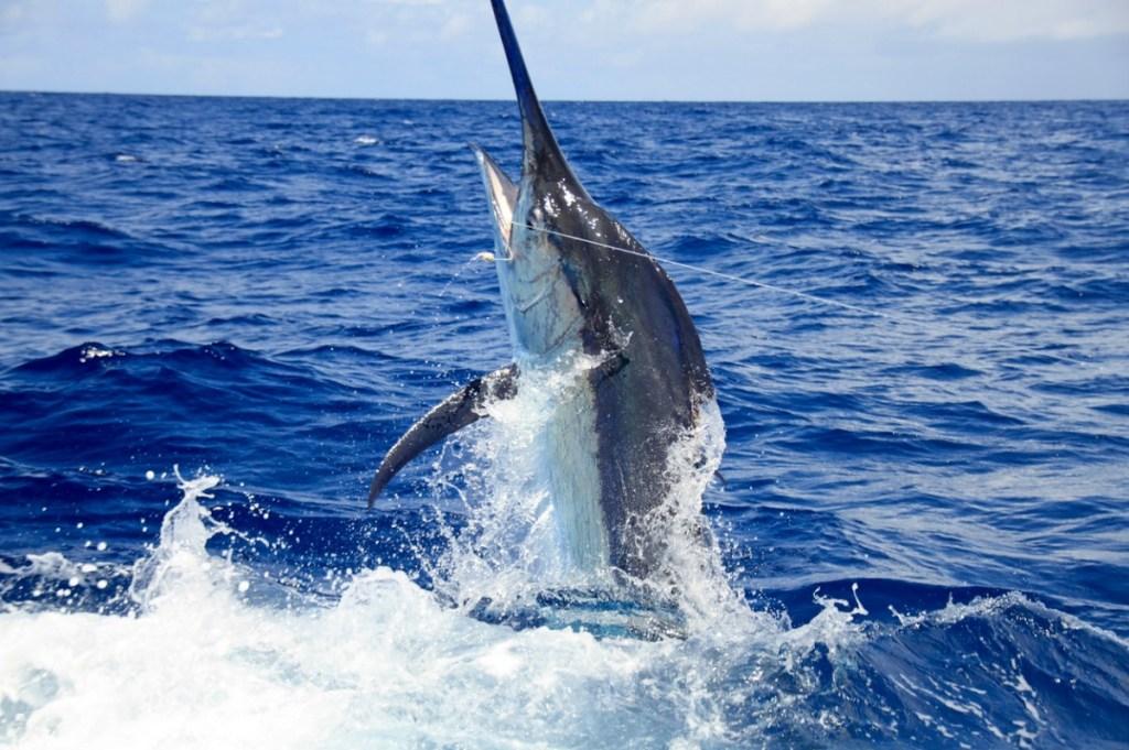 grander marlin fishing black marlin blue marlin fishing world record