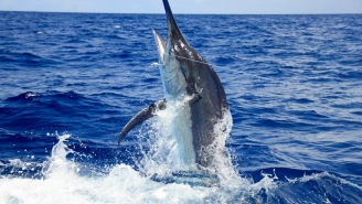 Enormous 1,040-Pound Blue Marlin Caught In Hawaii And 1,058-Pound Black Marlin Caught In Tahiti On Same Day
