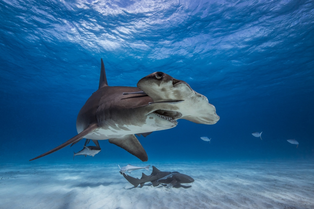 Hammerheads sharks swimming near people Pensacola Florida