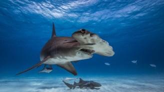 Viral Video Shows A Massive Hammerhead Shark Charging A Swimmer In Panama City Beach