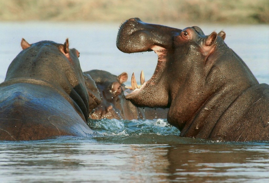 hippos in Africa chase boat