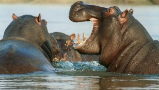 Hippos Chasing Tourists In A Speeding Boat Is A Reminder They Are Truly Terrifying Animals