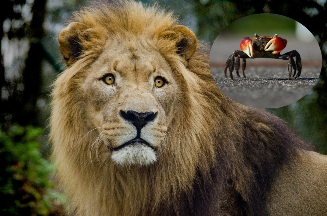 pride of lions watch crab