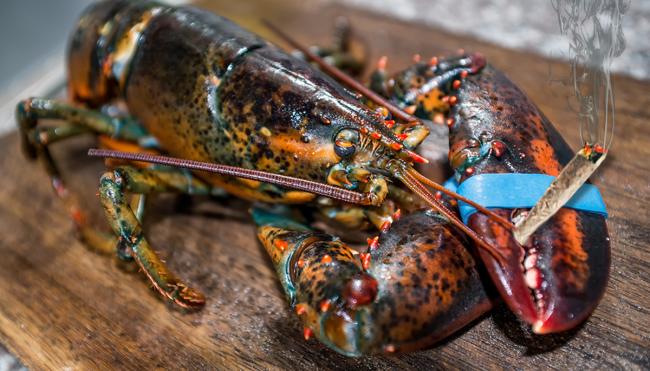 humane lobster cooking killing marijuana