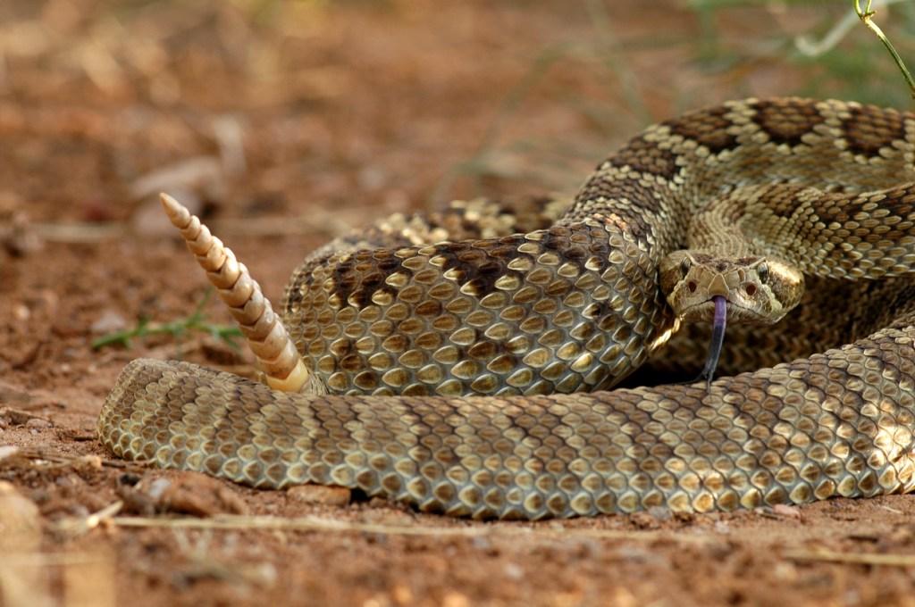 rattlesnake den rattler close up rattlesnakes