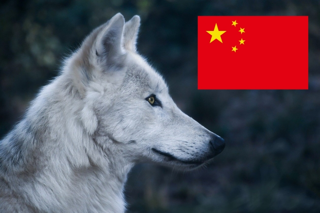 wolves chase actors china