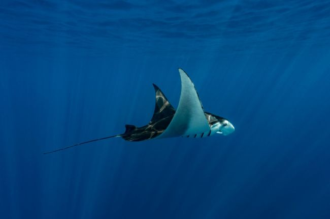 Manta Sting Eagle Rays