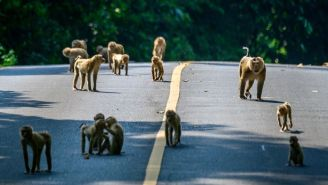 Sex-Crazed Monkey Gangs Are Brawling In The Streets Of Thailand As Turf Wars Break Out Between City And Country