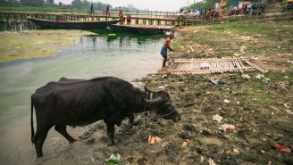 Drunk Indian Buffaloes Expose Illegal Booze Operation After Loose-Lipped Vet Snitches To Police