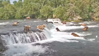 !!! BEST OF BEAR CAM !!! 38 Bears In One Night And 2 Unadulterated Glorious Hours Of 17 Brown Bears Crushing Salmon In Alaska