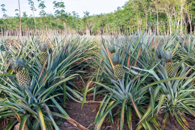 How do pineapples grow? Most people think pineapples grow on trees but the tropical fruit actually blossoms on a bush.