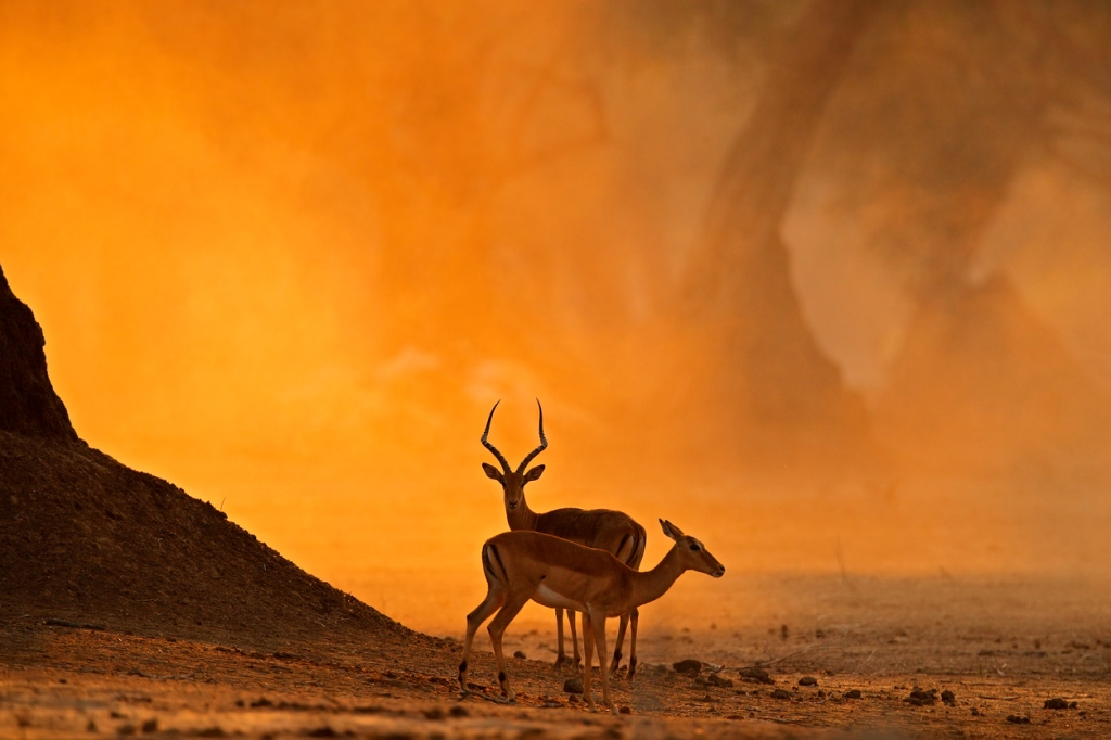 Impala escapes 16 wild dogs, hippos, and crocodiles