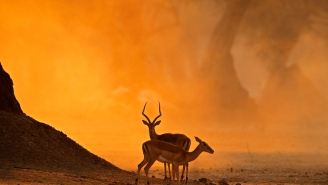 Luckiest Impala In Africa Outsmarts Angry Hippos, Lurking Crocodiles, And 16 Wild Dogs Before Escaping Like A Boss