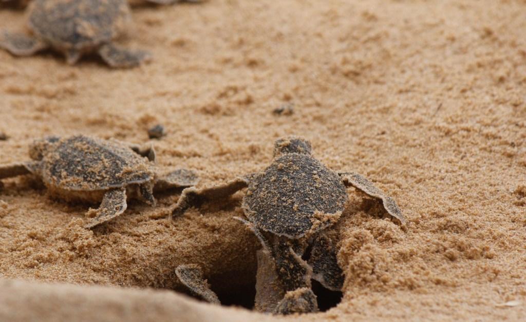 Two-Headed Loggerhead Sea Turtle South Carolina