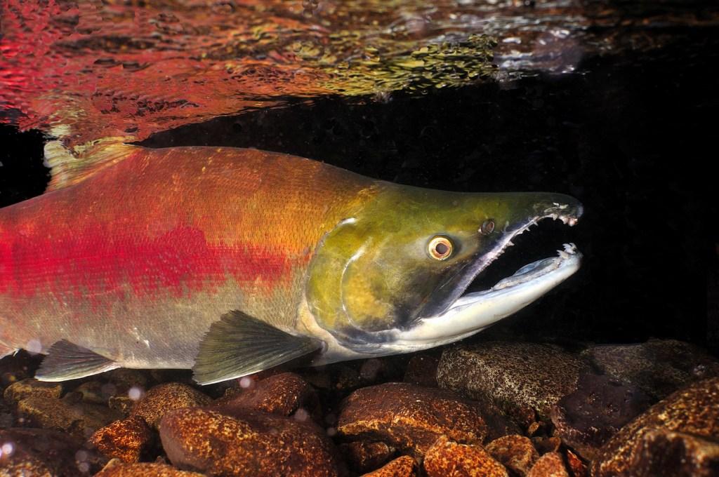 wild salmon cocaine germany