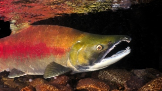 Scientists Observed Salmon Freaking Out And Later Discovered The Fish Were Coked Up Out Of Their Minds