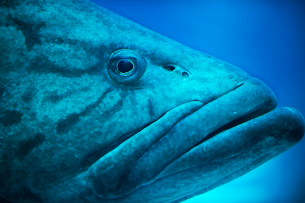 400 pound Warsaw Grouper caught fishing Sarasota Florida