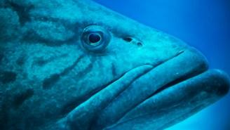 Gargantuan 400-Pound Warsaw Grouper Caught In Sarasota, Florida Fishing Tourney Was Nearly A Record