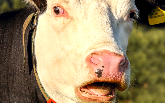 Cow Spotted Going Through McDonalds Drive-Thru In The Backseat Of Car