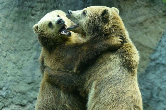 Fighting Brown Bears Brawl