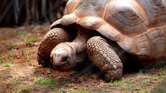 Giant Tortoise Stalks And Eats A Seabird In Horrifying, Slow Motion, Never Before Seen Encounter