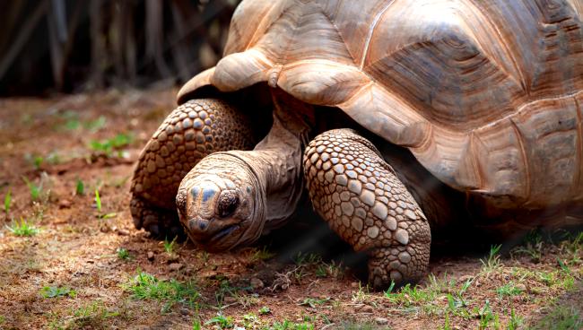 Giant Tortoise Hunts Eats Seabird In Horrifying Slow Motion Encounter