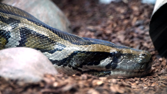Gruesome Video Shows Burmese Python That Swallowed An Entire Cow Before Its Stomach Exploded
