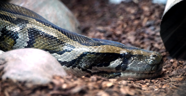 Video Burmese Python Swallow Cow Whole Before Stomach Explodes