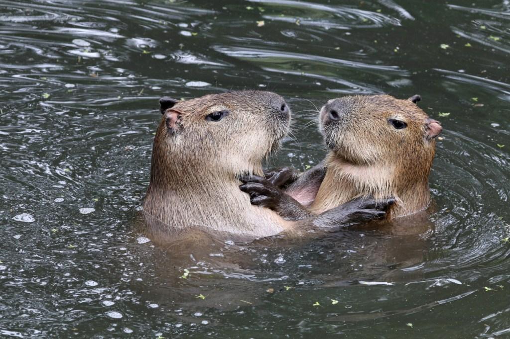 capybara invade nordelta argentina