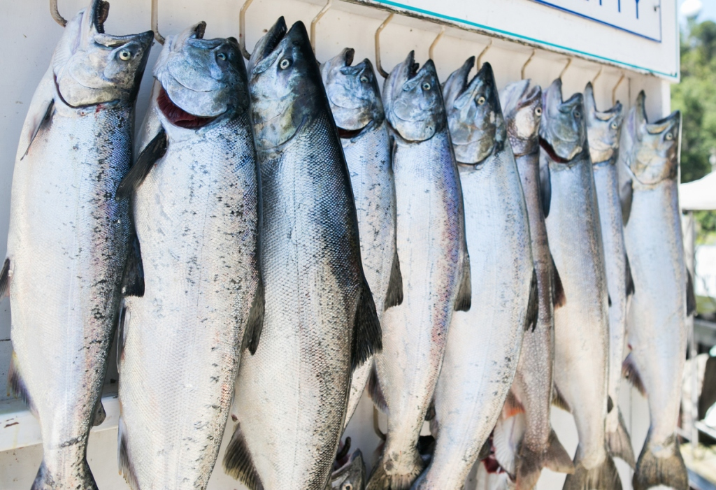 King Salmon Record biggest caught ever in Great Lakes fishing Chinook