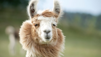 Lab Trial Gives Hope That Llamas Could Save Civilization As We Know It—Yes, Llamas