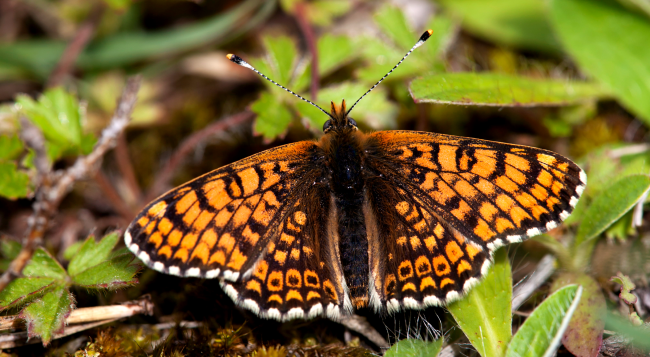 Butterflies Finland Contained Parasitic Wasps With More Wasps Inside